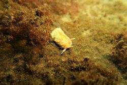 Vlokkige-zeenaaktslak